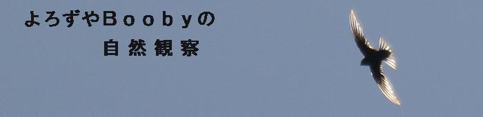 1408 アマツバメ.JPG